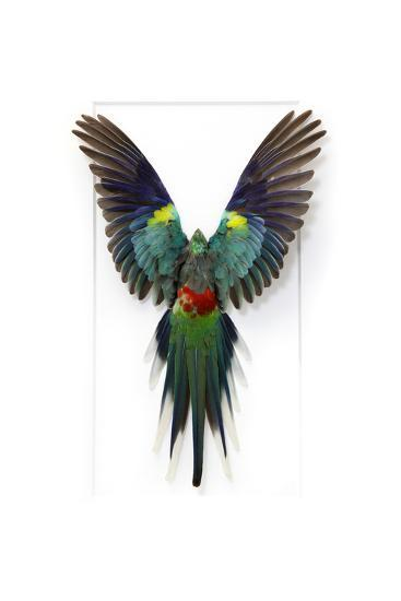 Many Colored Parakeet-Christopher Marley-Photographic Print