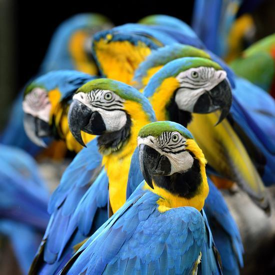Many of Blue and Gold Macaw Perching Together with Very Warm Moment-Super Prin-Photographic Print