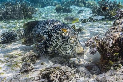 Map Puffer (Arothron Mappa) Feeding on Sponges on the House Reef on Sebayur Island-Michael Nolan-Photographic Print