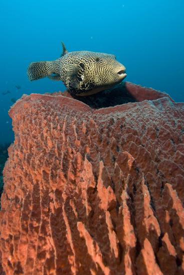 Map Pufferfish-Matthew Oldfield-Photographic Print