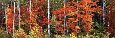 Maple and Birch Trees in a Forest, Maine, USA--Photographic Print