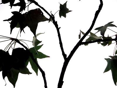 Maple Branch II-Monika Burkhart-Photographic Print