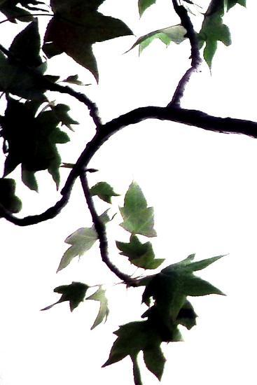 Maple Branch VI-Monika Burkhart-Photographic Print