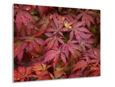 Maple Crying-Philippe Sainte-Laudy-Metal Print