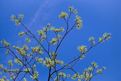 Maple Flowers-Cora Niele-Photographic Print