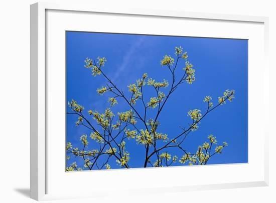 Maple Flowers-Cora Niele-Framed Photographic Print