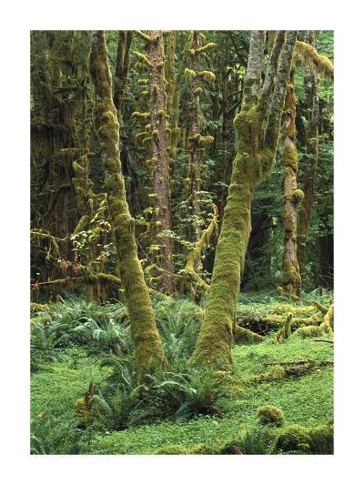 Maple glade, Quinault Rain Forest, Olympic NP, Washington-Tim Fitzharris-Art Print