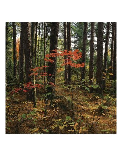 Maple in the Pine-Phillip Mueller-Art Print
