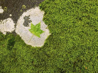 Maple Leaf and Moss-Michael Melford-Photographic Print