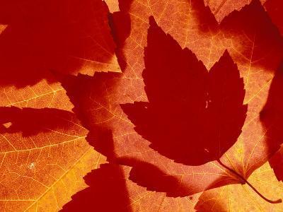 Maple Leaf Collage, Washington, USA--Photographic Print