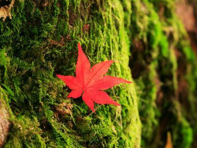 Maple Leaf on Moss--Photographic Print
