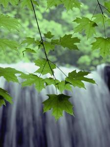 Maple Leaves against a Waterfall Backdrop