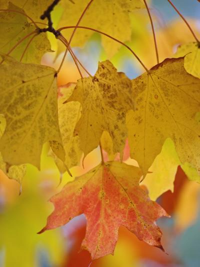 Maple Leaves in the Fall (Acer)-Adam Jones-Photographic Print