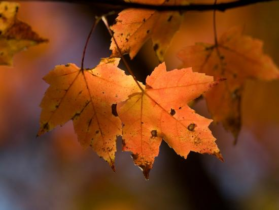 Maple Leaves in the Fall in Middlebury, Vt-Joel Sartore-Photographic Print
