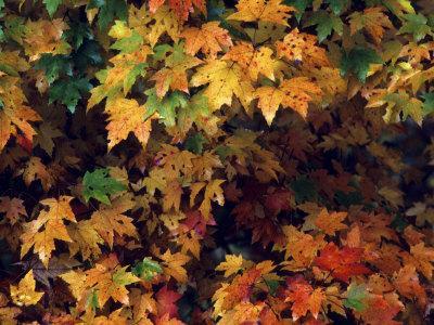 https://imgc.artprintimages.com/img/print/maple-leaves-in-the-fall_u-l-p88vu80.jpg?p=0