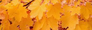 Maple Leaves on a Tree, British Columbia, Canada