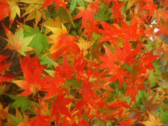 Maple Leaves--Photographic Print