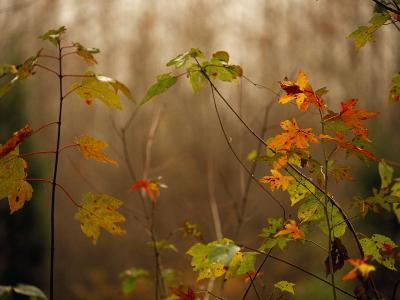 Maple Saplings with Hints of Autumn Color-Raymond Gehman-Photographic Print