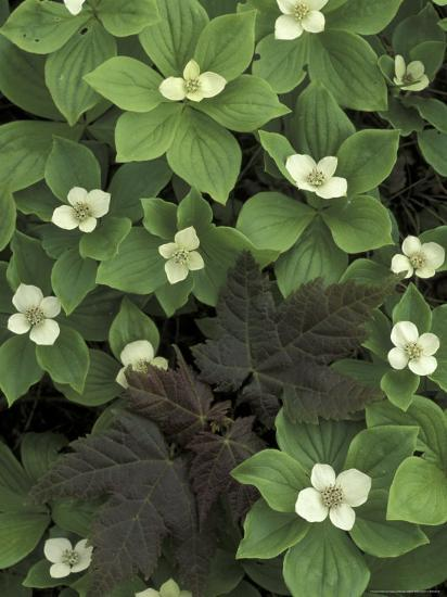 Maple Seedling in Bunchberry, Michigan, USA-Claudia Adams-Photographic Print