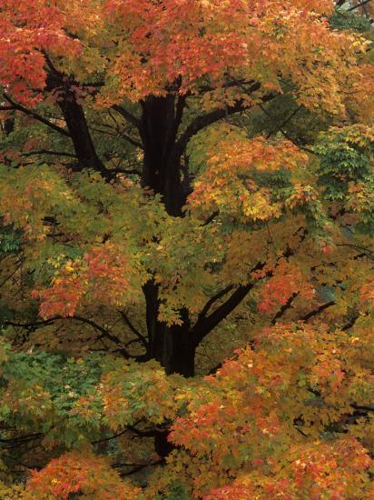 Maple Sugar Tree Changing to Fall Foliage (Acer Saccharum), North America  Photographic Print by Robert Domm | Art com