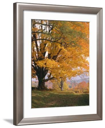 Maple Tree, Autumn-Thonig-Framed Photographic Print