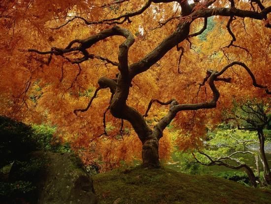 Maple Tree in Autumn-John McAnulty-Photographic Print