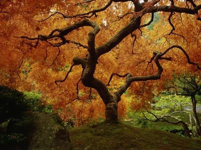 https://imgc.artprintimages.com/img/print/maple-tree-in-autumn_u-l-pzlxfw0.jpg?p=0