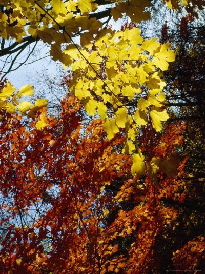 Maple Trees Along the Roy Gap Road Trail-Raymond Gehman-Photographic Print