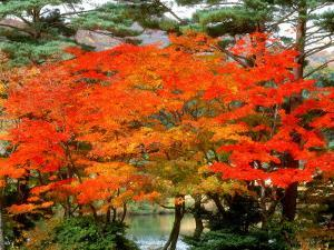 Maple Trees and a Pond
