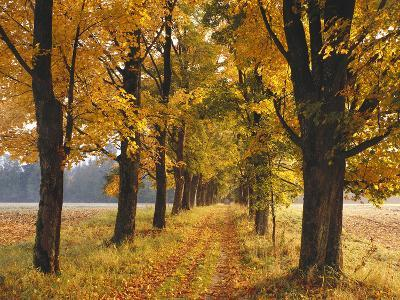 Maple Trees, Avenue, Autumn-Thonig-Photographic Print