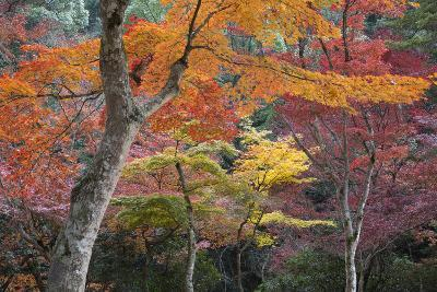 Maple Trees in Autumn, Momijidani Park (Japanese Maple Park), Miyajima Island-Stuart Black-Photographic Print