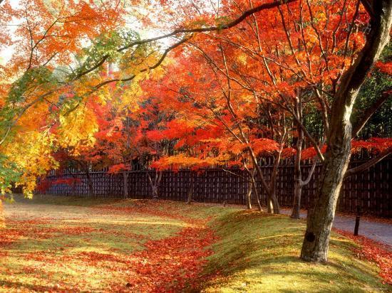 Maple Trees Near Villa Katsura--Photographic Print