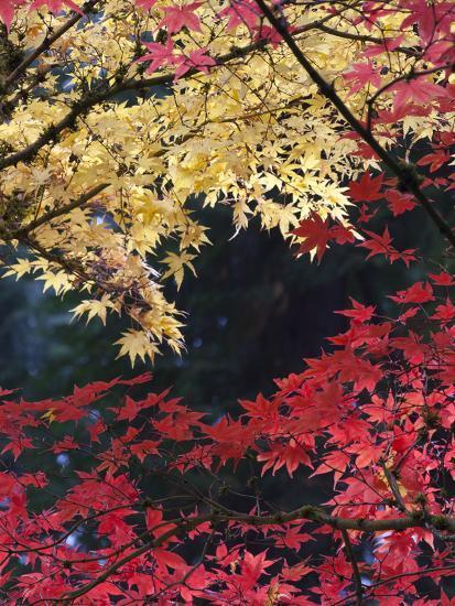 Maple Trees, Portland Japanese Garden, Oregon, USA-William Sutton-Photographic Print