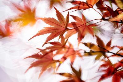 Maple-higrace photo-Photographic Print