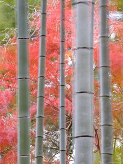 Maples Trees and Bamboo, Arashiyama, Kyoto, Japan-Gavin Hellier-Photographic Print