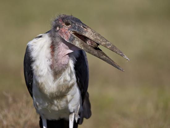Marabou Stork (Leptoptilos Crumeniferus)-James Hager-Photographic Print