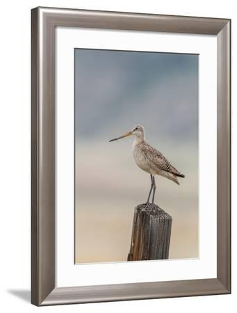 Marbled Godwit, Limosa Fedoa, Perching on a Wooden Post-Tom Murphy-Framed Photographic Print