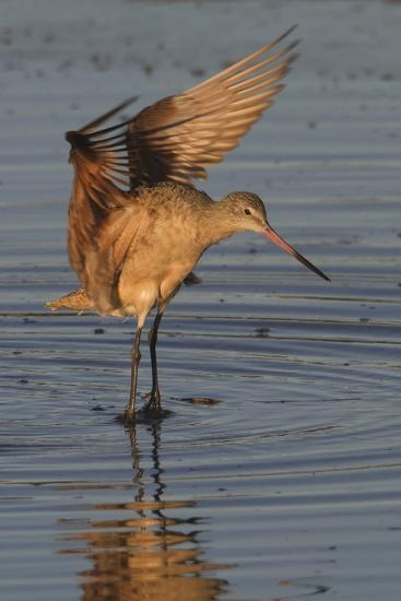 Marbled Godwit with Raised Wings-Hal Beral-Photographic Print