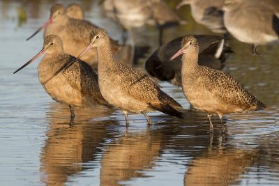 Marbled Godwits-Hal Beral-Photographic Print
