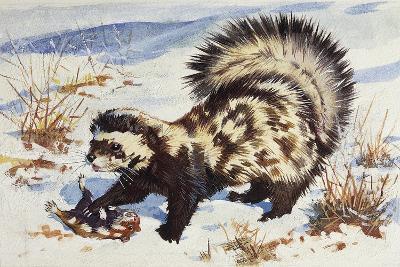 Marbled Polecat (Vormela Peregusna), Mustelidae, Drawing--Giclee Print