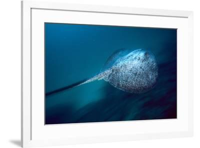 Marbled Ray, Cocos Island, Costa Rica-Stuart Westmorland-Framed Photographic Print