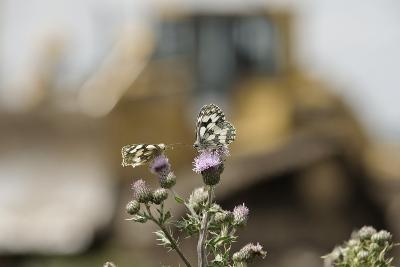 Marbled White Butterflies (Melanargia Galathea) Resting on Thistle-Terry Whittaker-Photographic Print