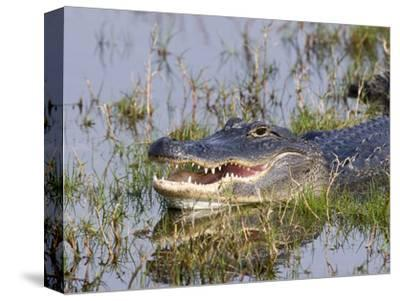 American Alligator (Alligator Mississippiensis) Resting, Merritt Island National Wildlife Refuge