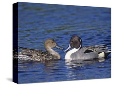 Northern Pintail Duck Pair on Water (Anas Acuta), North America