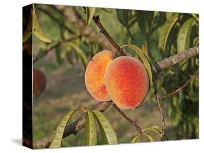 Peaches Ripening on the Tree (Prunus Persica)