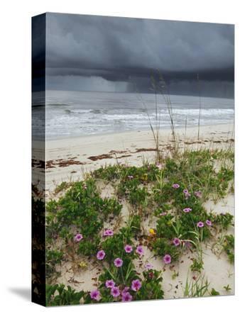 Railroad Vine (Ipomoea Pes-Caprae) and Sea Oats (Uniola Paniculata) Growing Along Beach, Florida