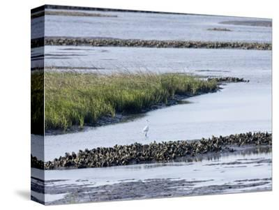 Tidal Salt Marshes with Smooth Cordgrass, Eastern Oyster, Great Egret, Stono River