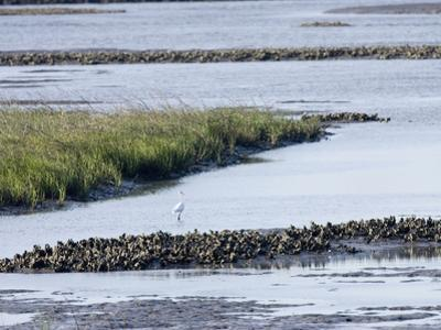 Tidal Salt Marshes with Smooth Cordgrass, Eastern Oyster, Great Egret, Stono River by Marc Epstein