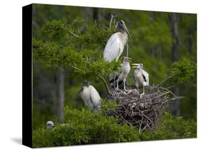 Wood Storks (Mycteria Americana) at Nest in a Rookery, Dungannon Plantation Heritage Preserve