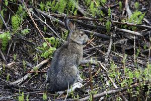 A Close Up Portrait of a Snowshoe Hare, Lepus Americanus, in its Summer Coat by Marc Moritsch